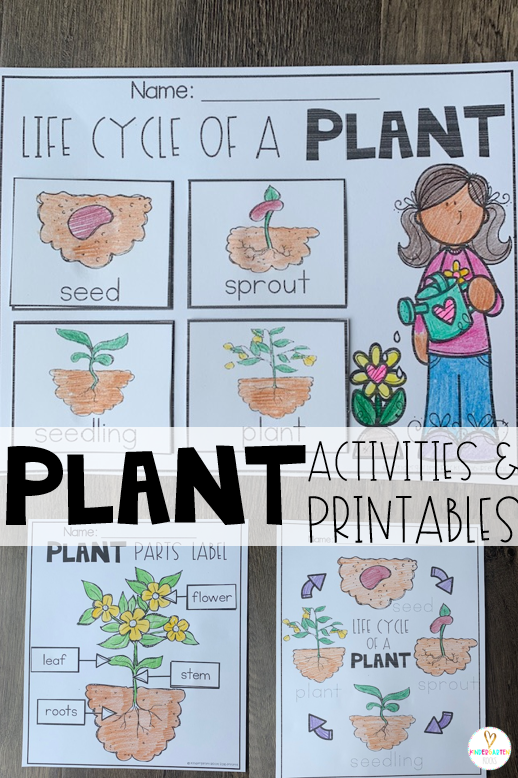 Plant activities are the perfect segway to spring!  If you are looking for print and go science-based printables for your plant unit then you will love Plant Worksheets are perfect for you! There are multiple life cycle of a plant and plants parts printables included in the unit. #plants #worksheets #worksheets